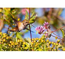 Rufous Hummingbird and Honeysuckle Photographic Print