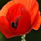 Poppy by Kat Wigley