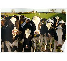 Cheeky Cows Poster
