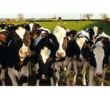 Cheeky Cows Photographic Print