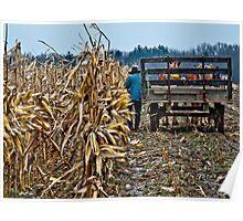 Amish Man picking corn Poster