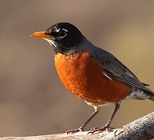 American Robin Resized.... by Gregg Williams