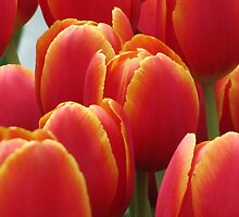 Tulips by NarelleH