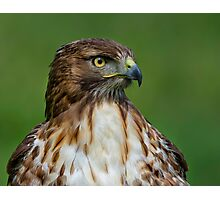 Profile of a Red Tailed Hawk Photographic Print
