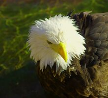Eagle  by pcfyi