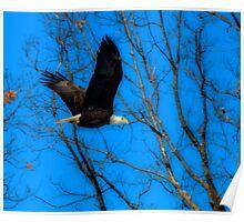 Flying American Bald Eagle Poster
