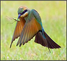 Rainbow Bee-Eater 457  Fingal  NSW by John Van-Den-Broeke