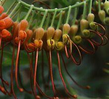 Grevillea bipinnatifida  by andrachne