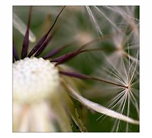 Pusteblume by Falko Follert