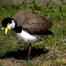 North Head Manly - Masked Lapwing looking for food by miroslava