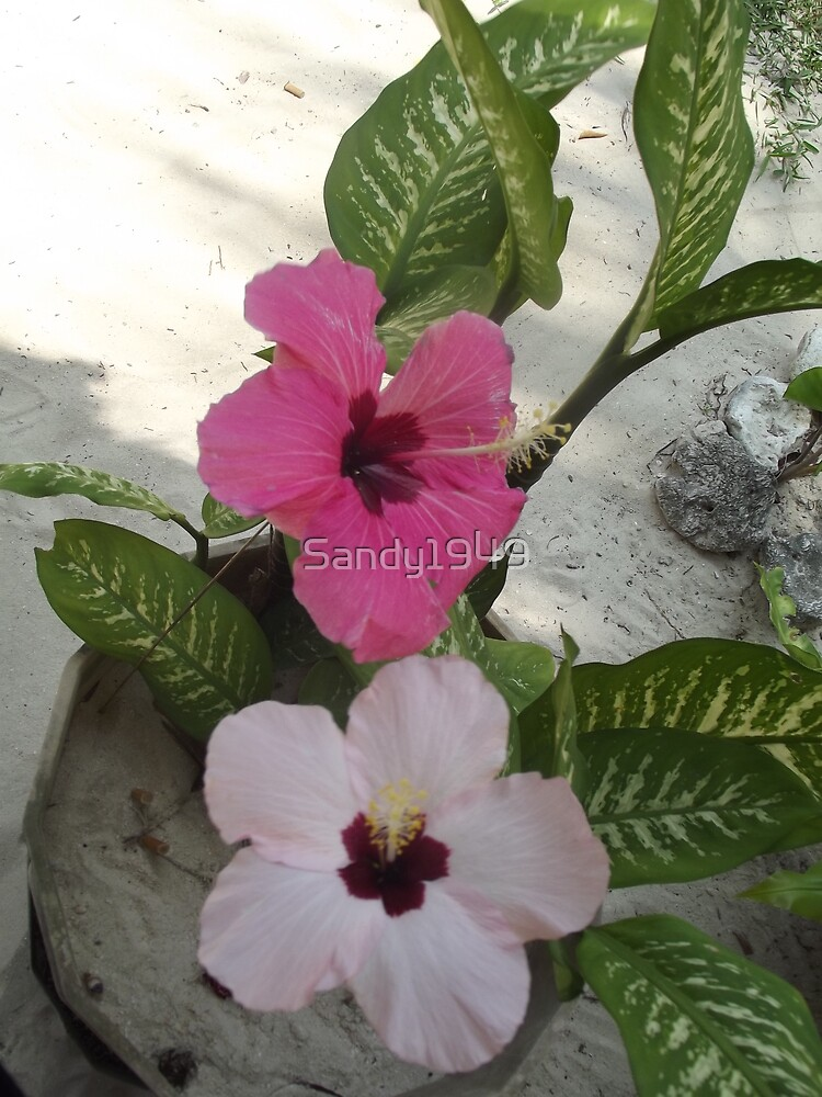 Hibiscus Flower in Vanuatu by Sandy1949