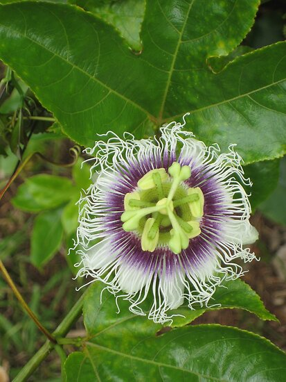 Passionfruit Flower by Sandy1949