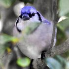 Blue Jay by JillsyGirl