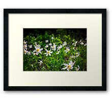 White Avalanche Lily Framed Print