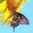 butterfly on sunflower by SusieG