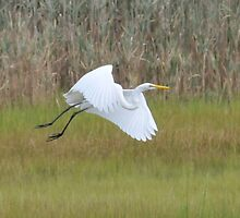 White Heron in Flight by Cindy Longhini
