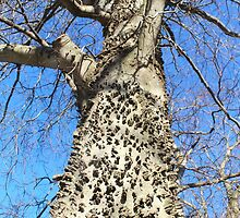 Hackberry tree in our back yard by SusieG