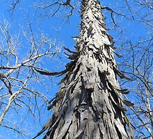 Shagbark Hickory Tree at Lake Girardeau Conservation Area by SusieG