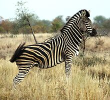 Plains Zebra #2 by Kobus Olivier