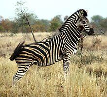 Plains Zebra #2 by Kobus Olivier