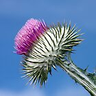Thistle by hildamurray