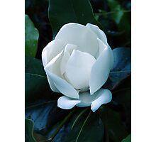 White magnolia blossom on dark background Photographic Print