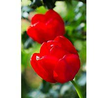 2 x Red Tulips Photographic Print