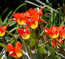Spring Tulips by Kathy Baccari