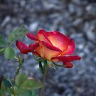Red and yellow peach rose. by Amara Paul