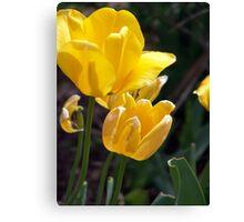 Bright yellow tulip blossoms. Canvas Print