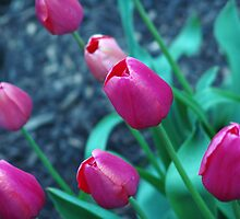Blooming bright pink tulips. by Amara Paul