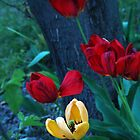Vibrant red and yellow tulips. by Amara Paul