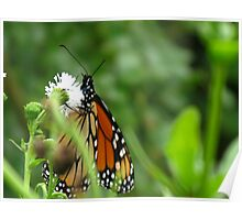 Monarch Butterfly and White flowers Poster
