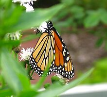 Monarch Butterfly and White flowers  II by Rencen
