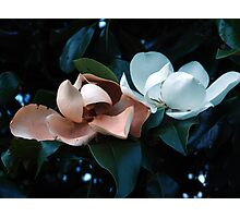 Blooming brown and white magnolias. Photographic Print
