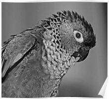 Black and white portrait of a Conure Poster
