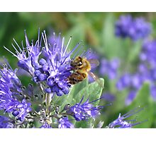 Electric Blue and a Honey Bee Too Photographic Print