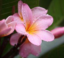 The Rains Are Here: Pink Frangipani by aussiebushstick