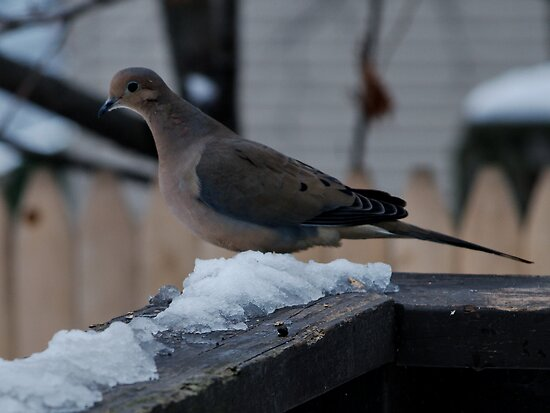Mourning Dove after the Snow by Barry Doherty