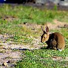 North Head Manly - Rabbit by miroslava
