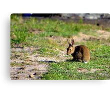 North Head Manly - Rabbit Canvas Print