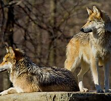 Sister Act - Mexican Gray Wolves by John Absher