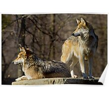 Sister Act - Mexican Gray Wolves Poster