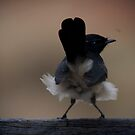 Willie Wagtail!  by Anna Ryan