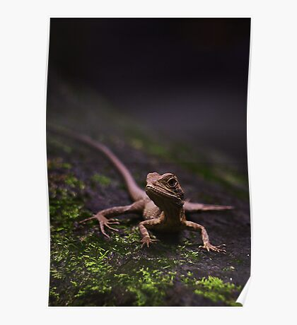 Eastern Water Dragon - Strickland Falls, NSW Poster