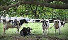 More Dairy Cows by yolanda