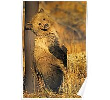 Grizzly Cub - Snow -Signed-5175 Poster