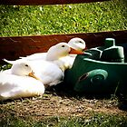 Duck Play Time by Steph Peesker