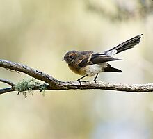 Grey Fantail at the pond by Ron Co