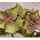 Hydrangea Petals by Leslie Nicole